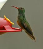 Buff-bellied Hummingbird   Amazilia yucatanensis