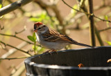 Swamp Sparrow: Melospiza georgiana