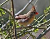 Northern Cardinal hen: Cardinalis cardinalis