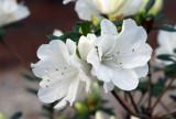 White Azaleas: Rhododendron alabamense