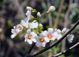 Tung Oil Tree: Aleurites fordii