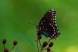Swallowtail, I presume