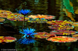 Off Color Water Lillies