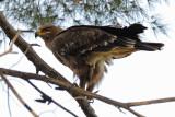Steppe Eagle - עיט ערבות - Aquila nipalensis