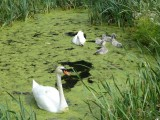 A family of mute swans in Pabazi