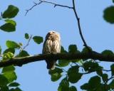 Pygmy owl (Glaucidium passerinum) in Slitere National Park