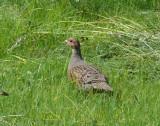 Grey partridge (Perdix perdix) in Vidale, Talsi district