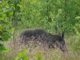 Wild boar (Sus scrofa) in Slitere National Park