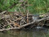 Beaver dam in Vilaune river
