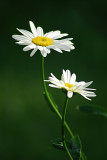 the_daisy_project