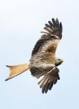 8014 Welsh Red Kite - 7 - web.jpg
