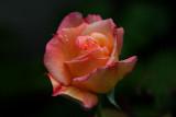 IMG_6256 roses.jpg