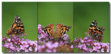Triptych Painted Lady.jpg