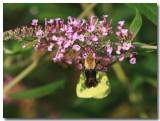 Humm Moth IMG_0686.jpg