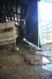4-H Cow Barn damage