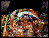 Hermit Crab with a colorful shell