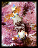 lined Nudibranch