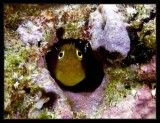 Unidentified Blenny, this one was big