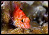 and another Pixie Hawkfish