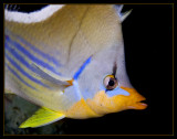 Saddled Butterflyfish