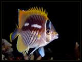 Unidentified Butterflyfish