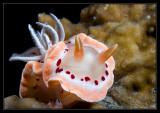 Red Spot Chromodoros/Glossodoris cruenta