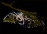 Hemphill's kelp crab and Kelp