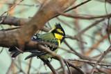 Passeriformes : Paridae