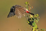 PASSERIFORMES : Pycnonotidae