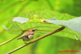 Red-throated Sunbird (Anthreptes rhodolaemus)