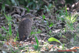 Malayan Night Heron, Juvenile (Gorsachius melanolophus)
