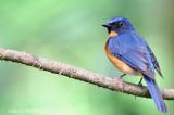 Mangrove Blue-flycatcher (Cyornis rufigastra) , Male