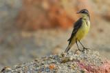 Yellow Wagtail ( Motacilla flava )