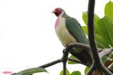 Jambu Fruit-Dove, Male ( Ptilinopus jambu )