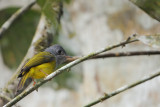 Passeriformes : Stenostiridae