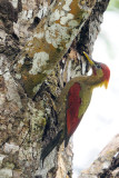 Crimson-winged Woodpecker (Picus puniceus)
