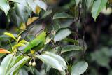 Passeriformes: Chloropseidae (Leafbirds)