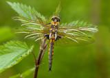 Common Baskettail - Tweevlek