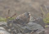 Hepburn's Gray-crowned Rosy-finch