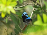 Superb Fairy-wren, Sydney