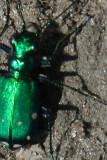E Beetle .jpg