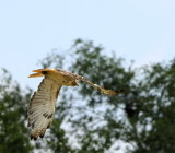 Redtail into the Trees