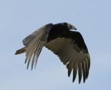 Turkey Vulture - Immature