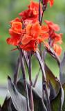 Canna - My Favorite Flower