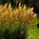 Windblown Glittering Grasses