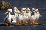 American White Pelican (7 IMAGES)
