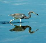 TriColor Heron Hunting
