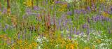 Kansas Prairie Wildflowers (2)