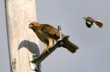 Redtail Hawk and Northern Mockingbird (2)