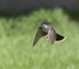 Hovering.. Eastern Kingbird (3)